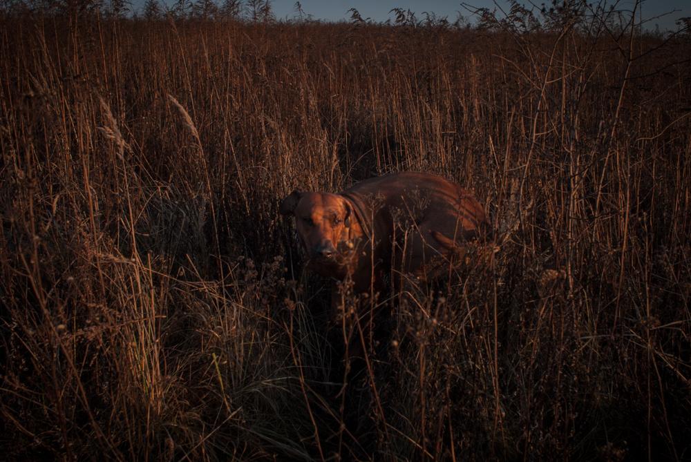 Nayo Leoginger - Rhodesian Ridgeback